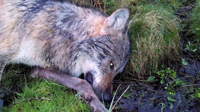 W Niemczech zastrzelono wilka. Pierwszego widzianego od wieku