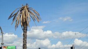 Zagadka uschniętych liści palmy rozwikłana