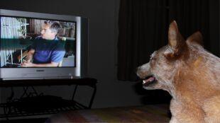 Co widzą psy oglądając telewizję?